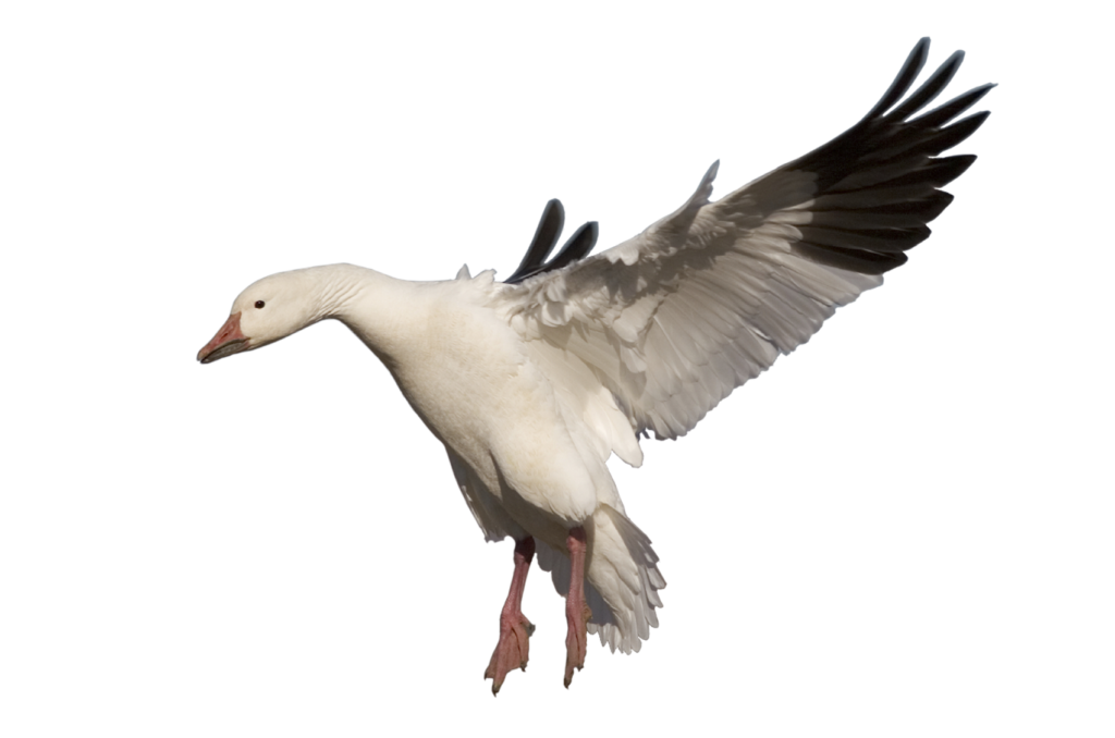 Png pic peoplepng com. Turkeys clipart goose