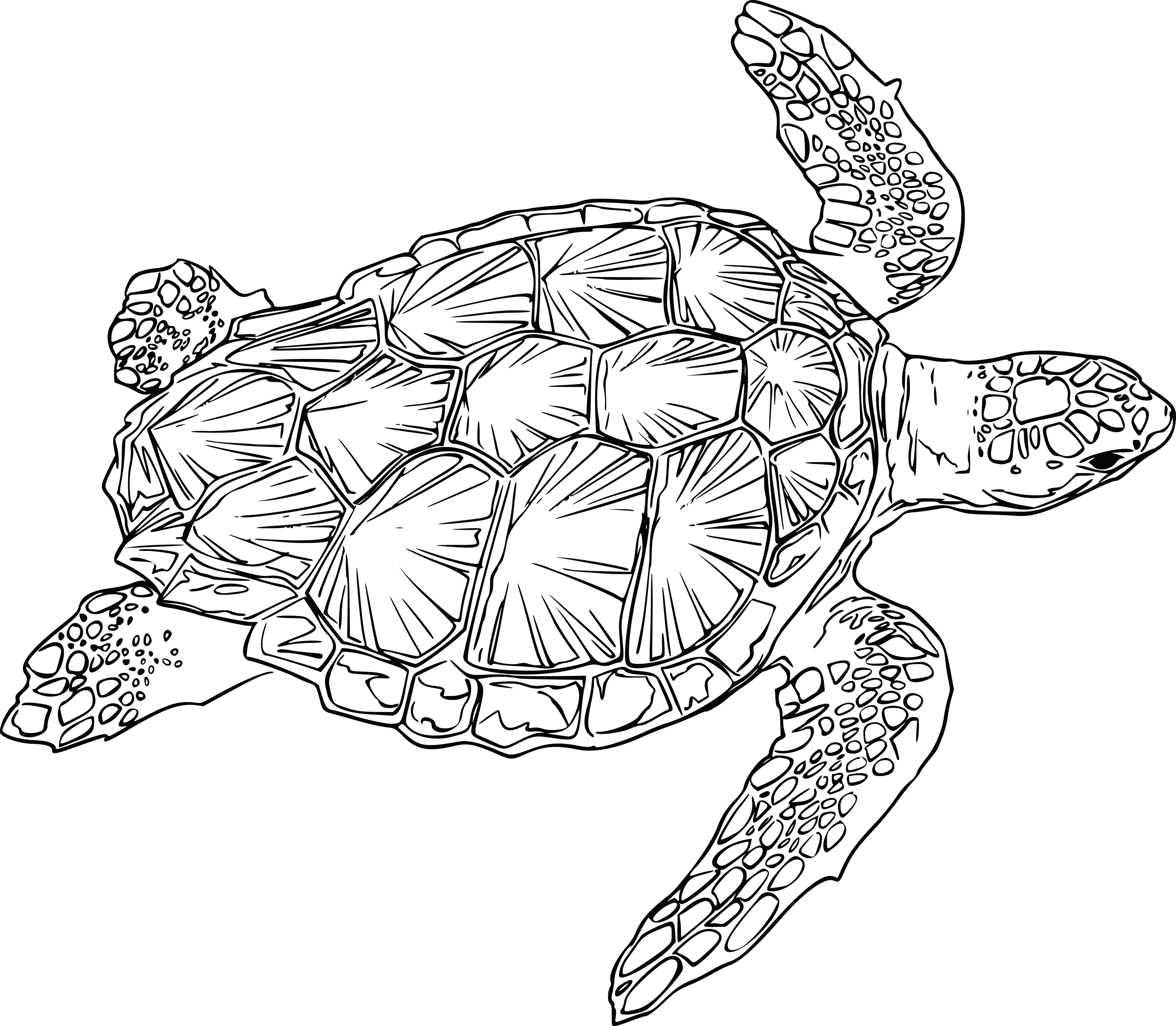 Free of a sea. Clipart turtle baby turtle