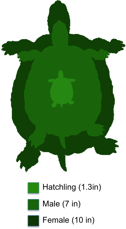 Yellow bellied slider the. Clipart turtle biotic