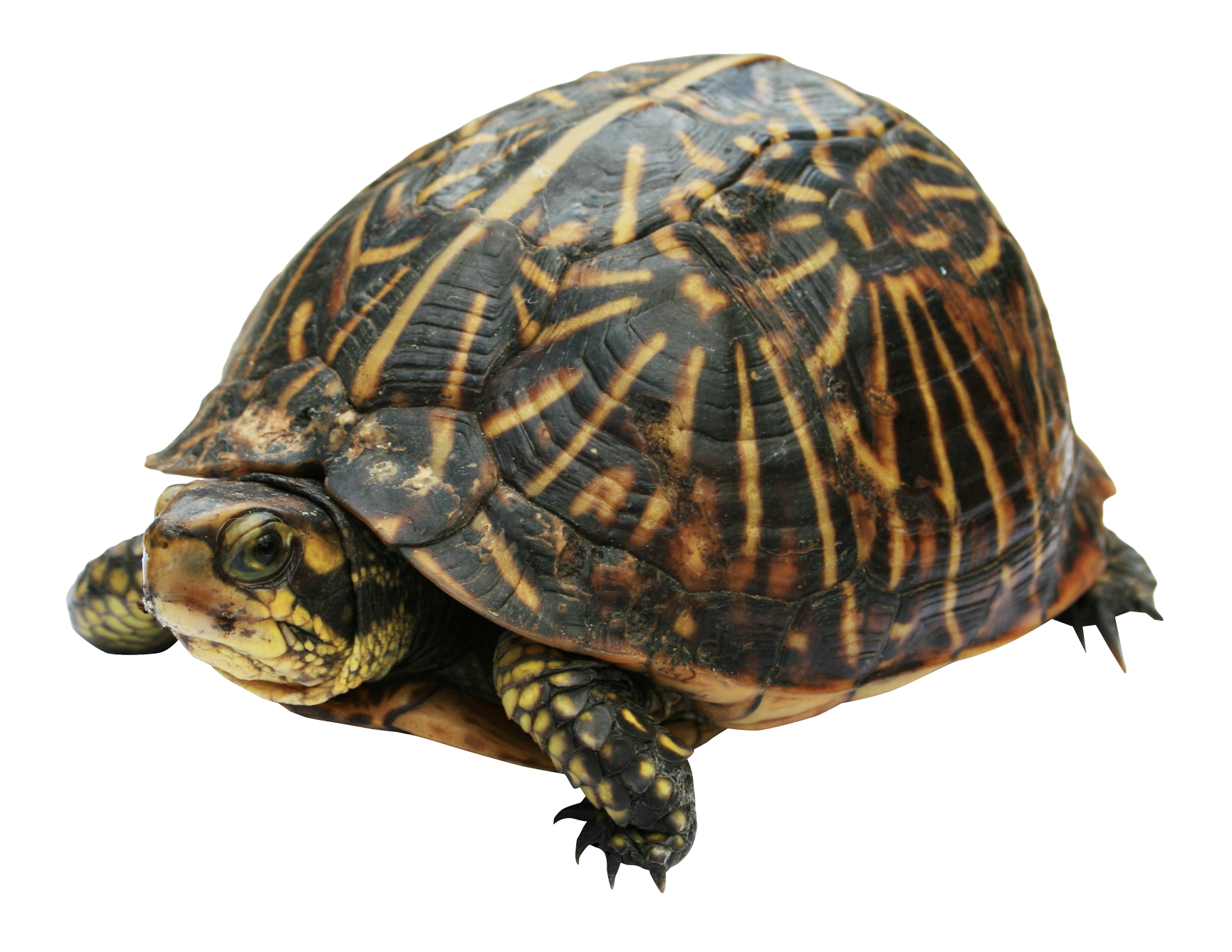 Clipart turtle box turtle. Png image purepng free