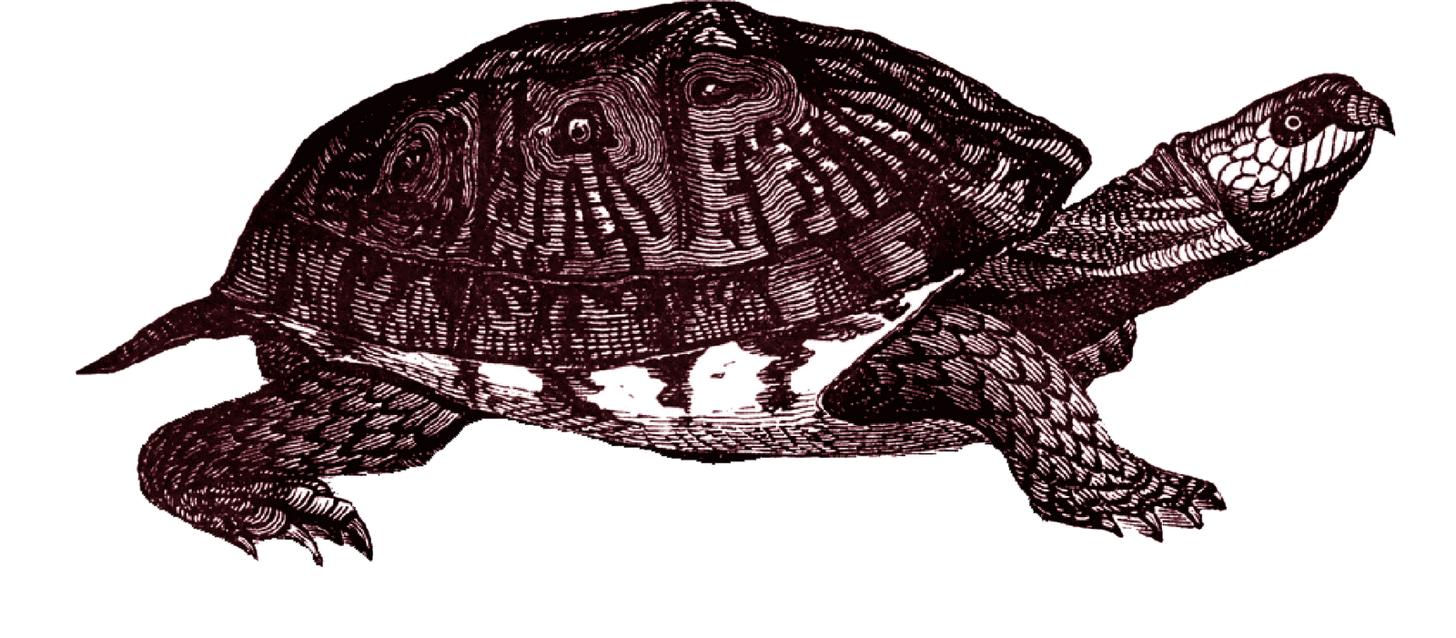 Clipart turtle clear background. Box png mart