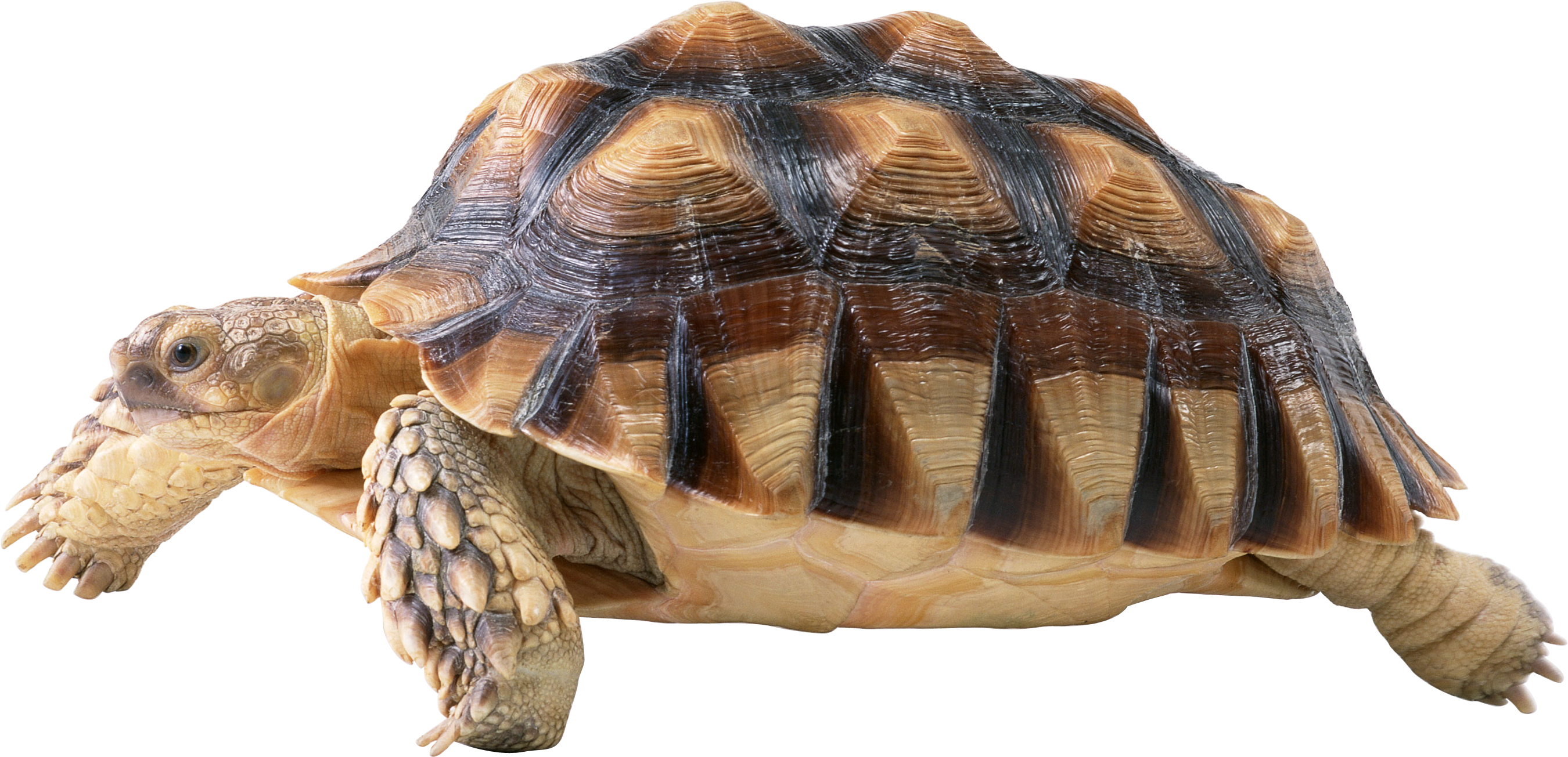 Clipart turtle clear background. Png