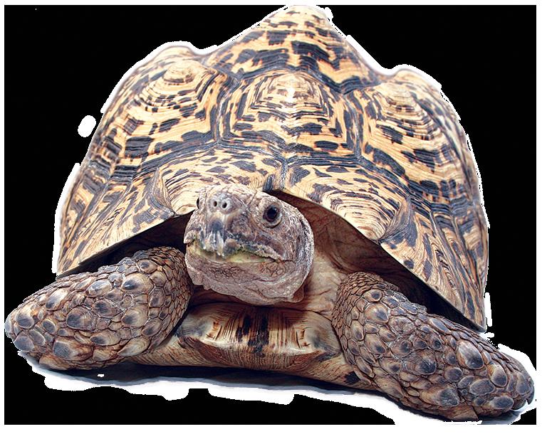 Leopard reptiles alive common. Desert clipart tortoise