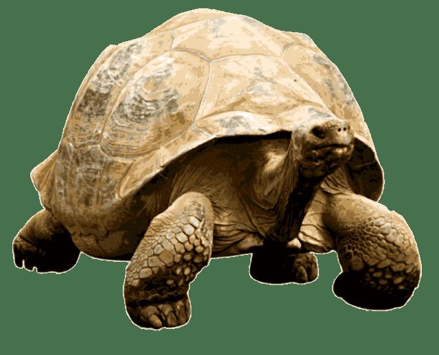Giant transparent png stickpng. Desert clipart tortoise