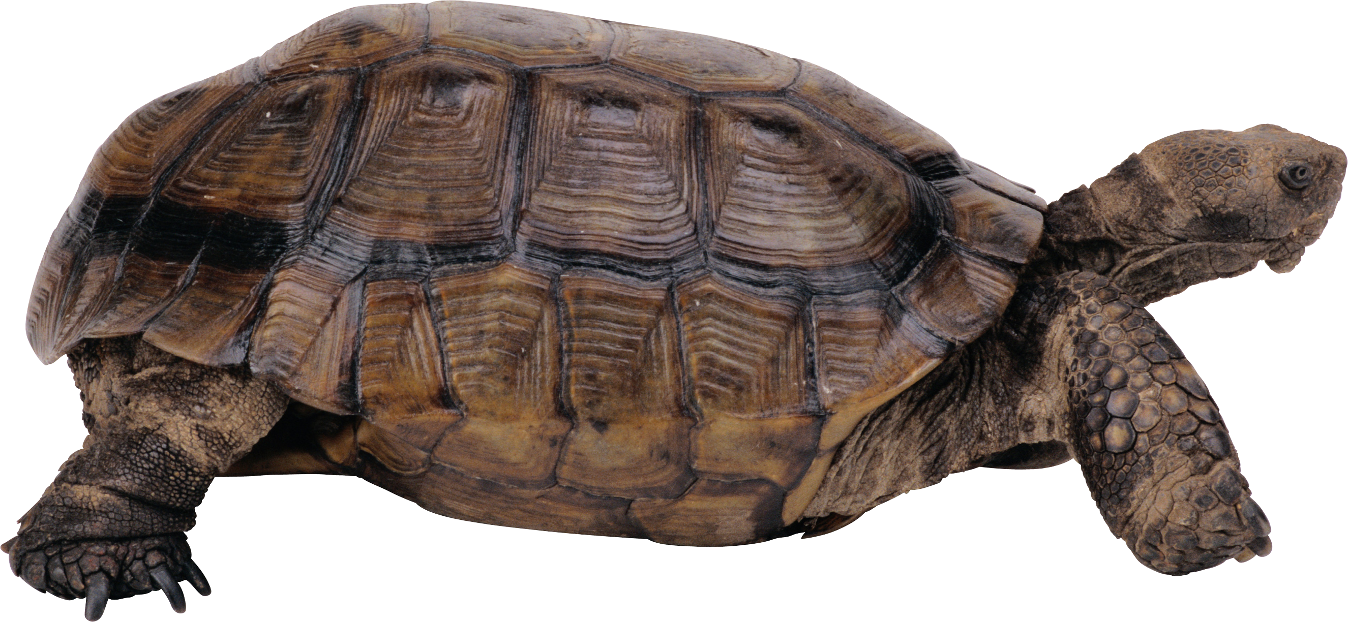Desert clipart tortoise. Turtle png images free