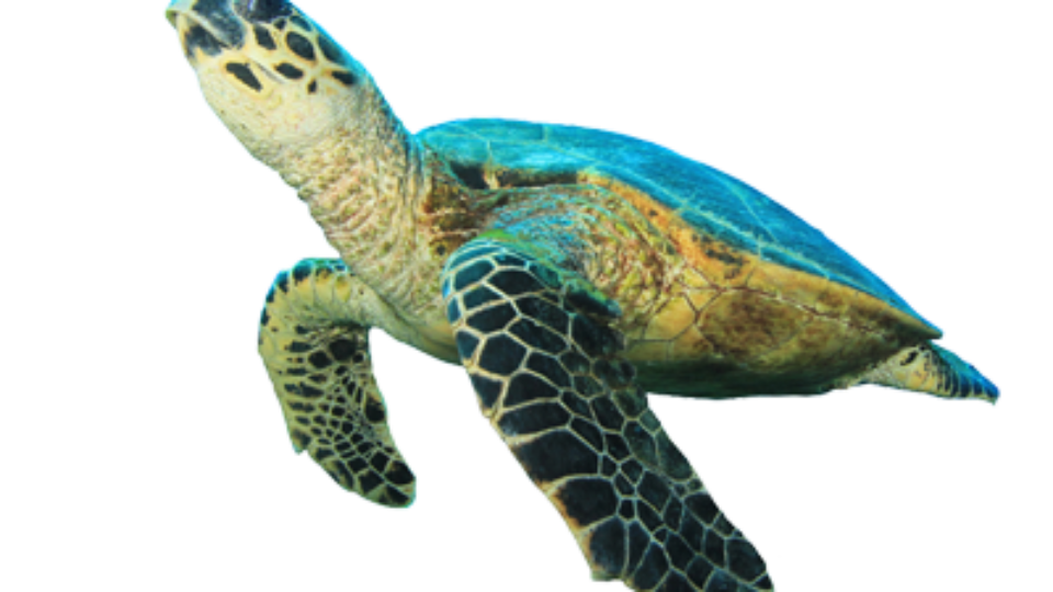 Shell clipart sea turtle. Symbols exploration