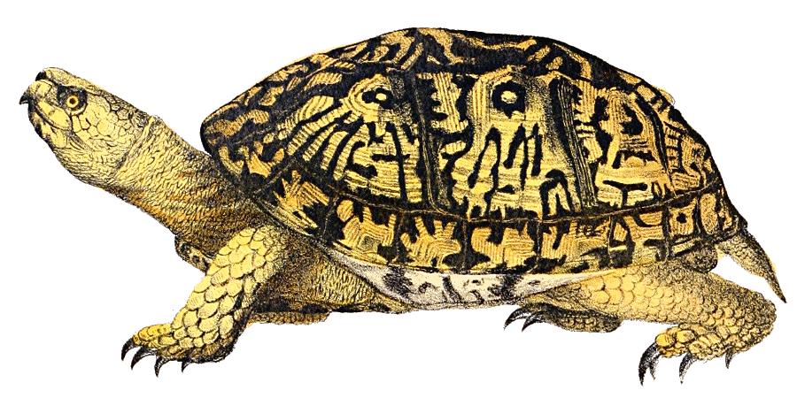 Box clip art images. Clipart turtle land turtle