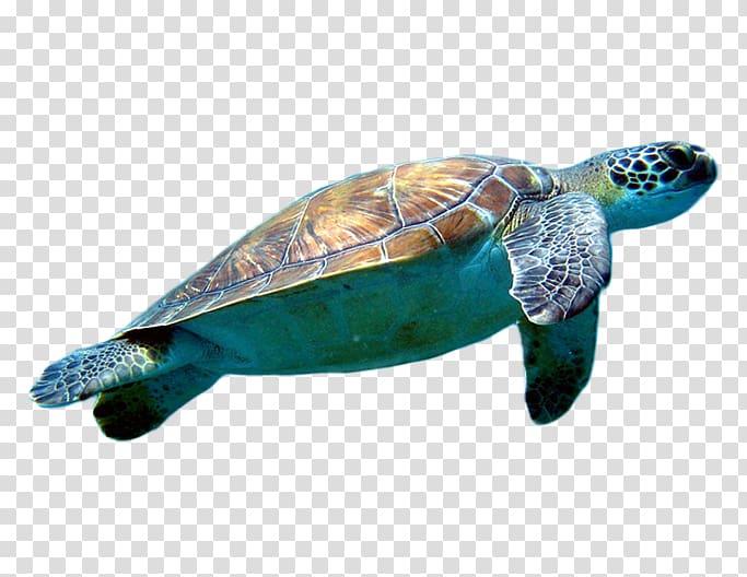 Clipart turtle loggerhead turtle. Sea cheloniidae transparent