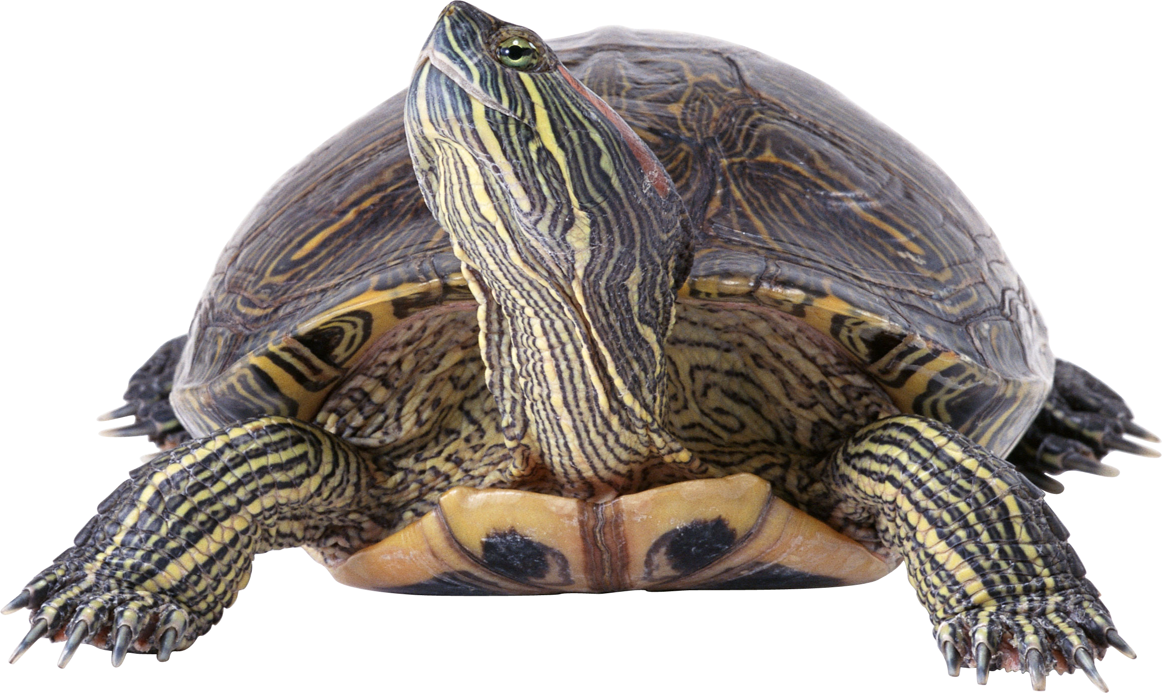 Clipart turtle river turtle. Png images free download