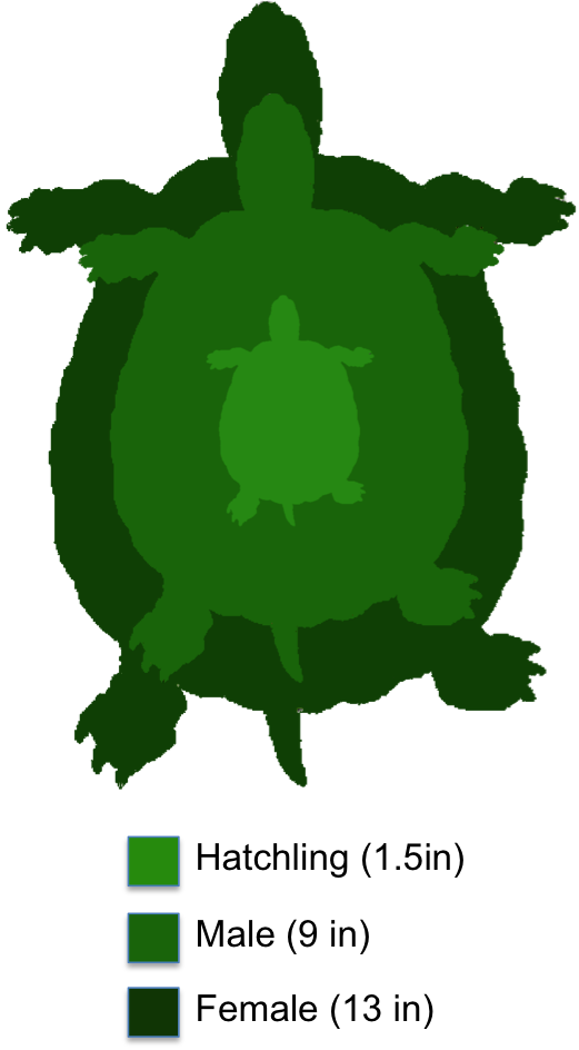 Cooter the shaded region. Clipart turtle river turtle