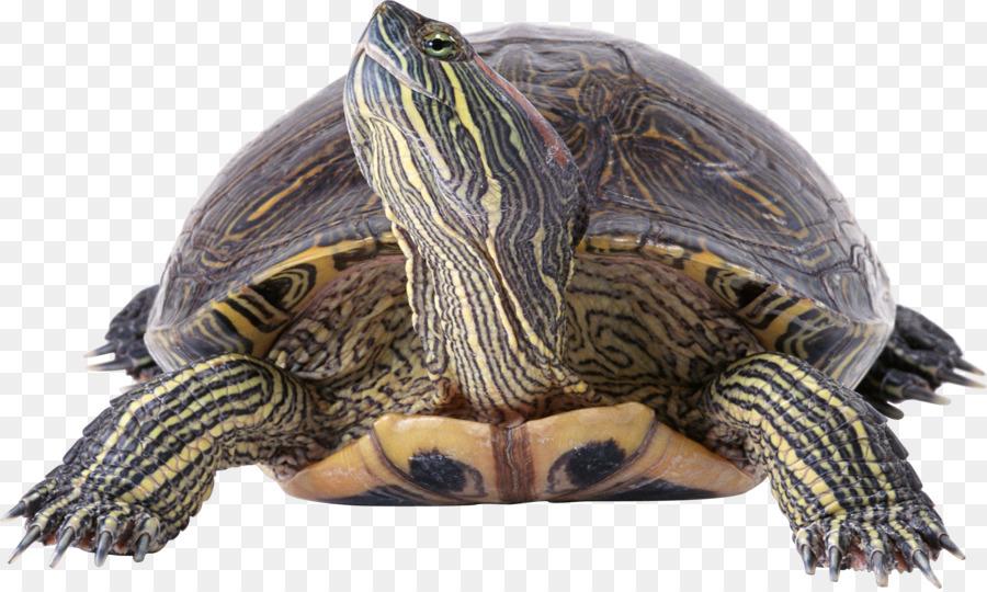 Sea background transparent clip. Clipart turtle river turtle