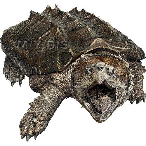 Alligator picture large tattoo. Clipart turtle snapping turtle