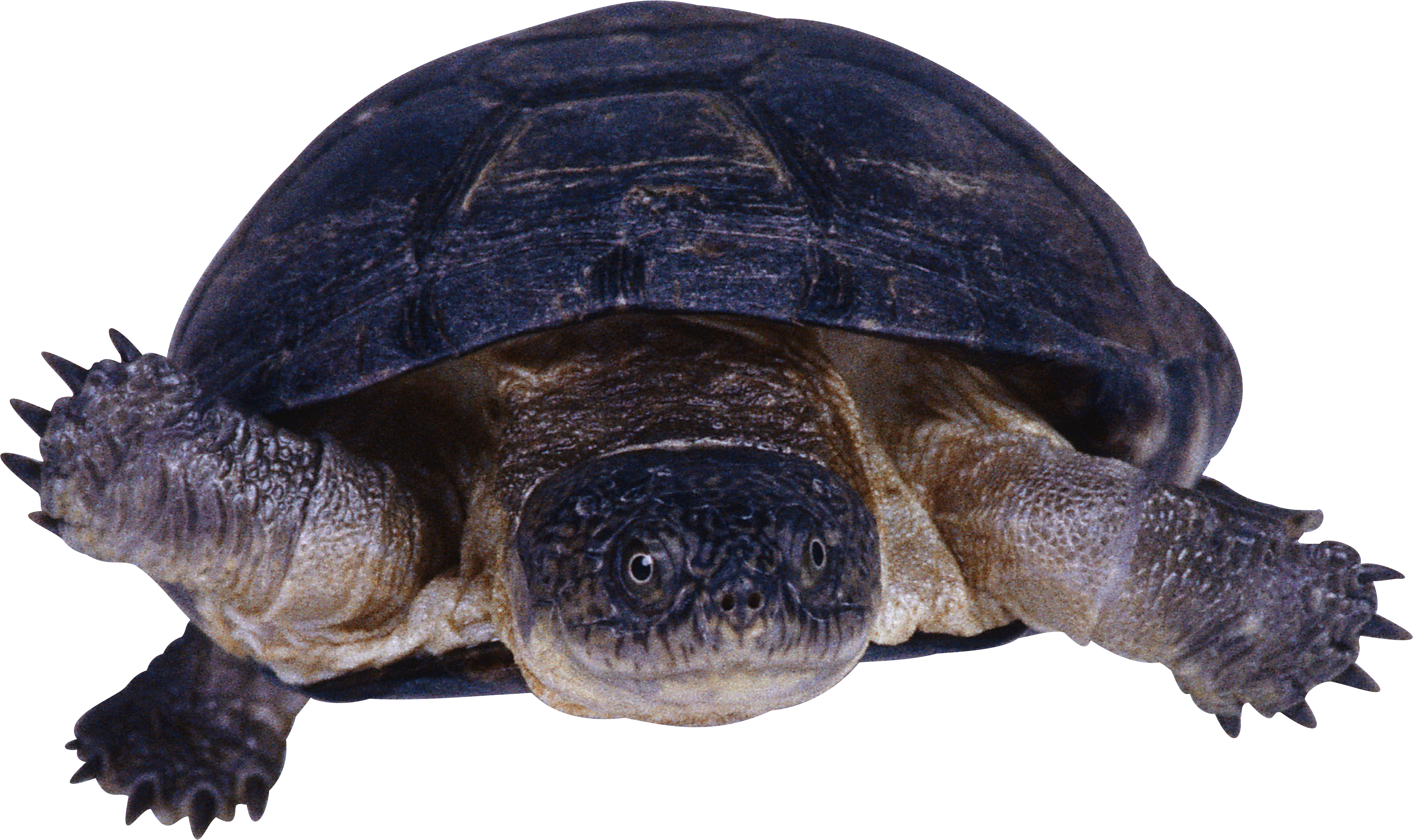 Clipart turtle snapping turtle. Png in high resolution