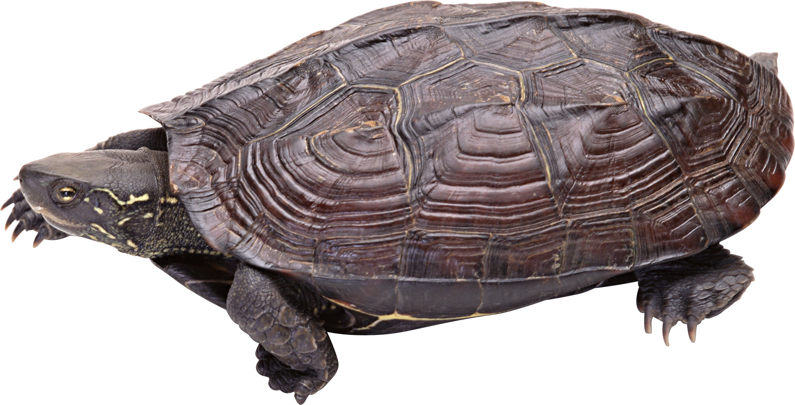 Png transparent images pluspng. Clipart turtle snapping turtle