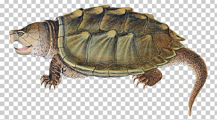 Soup alligator reptile common. Clipart turtle snapping turtle