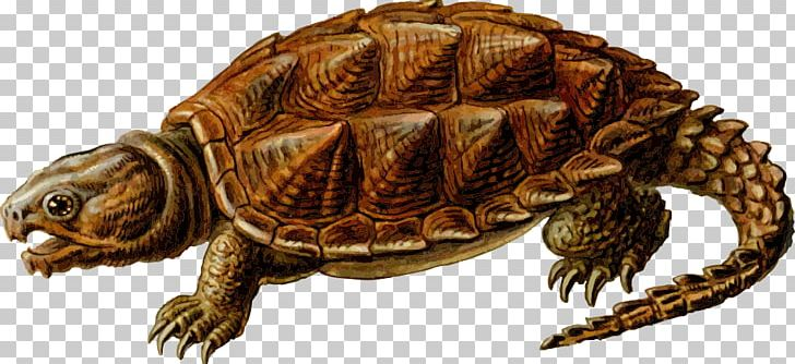 Clipart turtle snapping turtle. Common alligator png