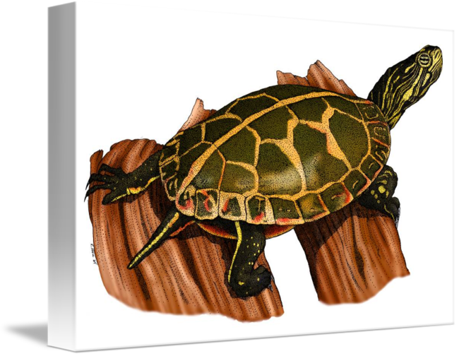 Southern painted by roger. Clipart turtle spotted turtle