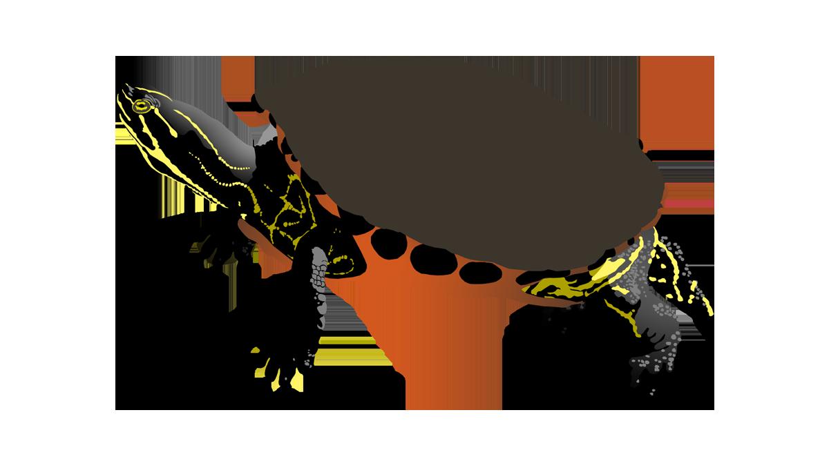Clipart turtle spotted turtle. Ego sum daniel illustration