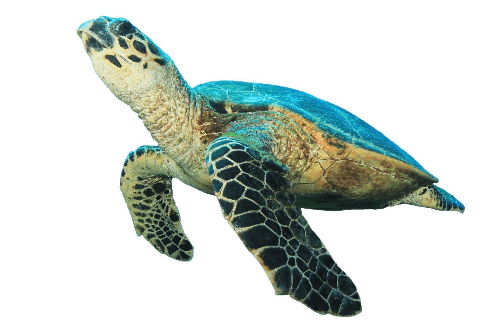 Clipart turtle transparent background. Turtles png images stickpng