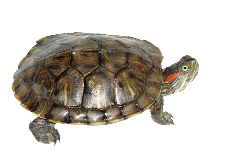 Box png mart. Clipart turtle transparent background