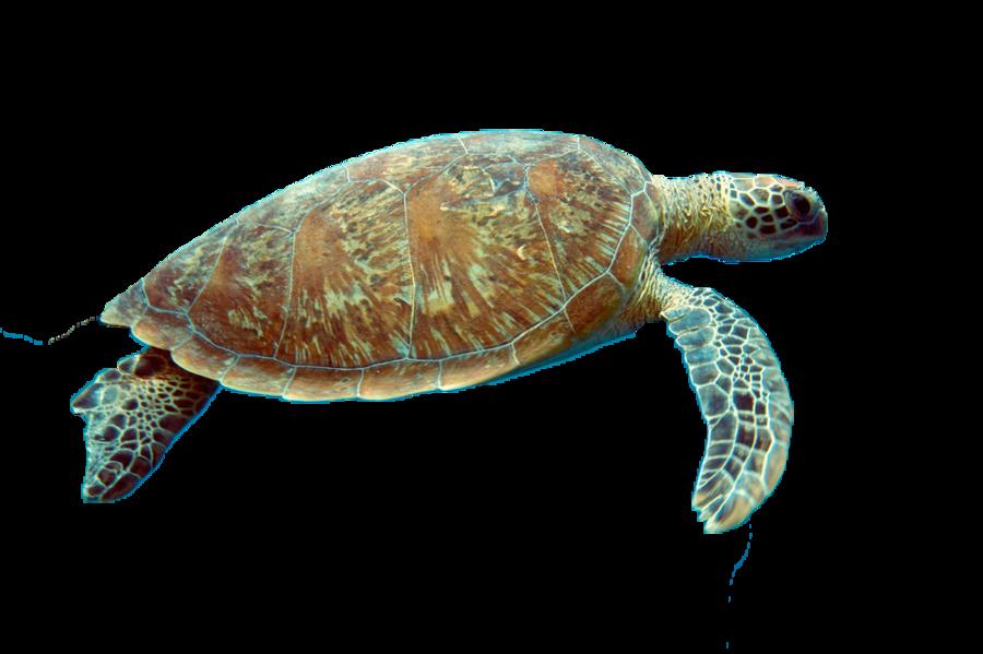 Clipart turtle transparent background, Clipart turtle ...