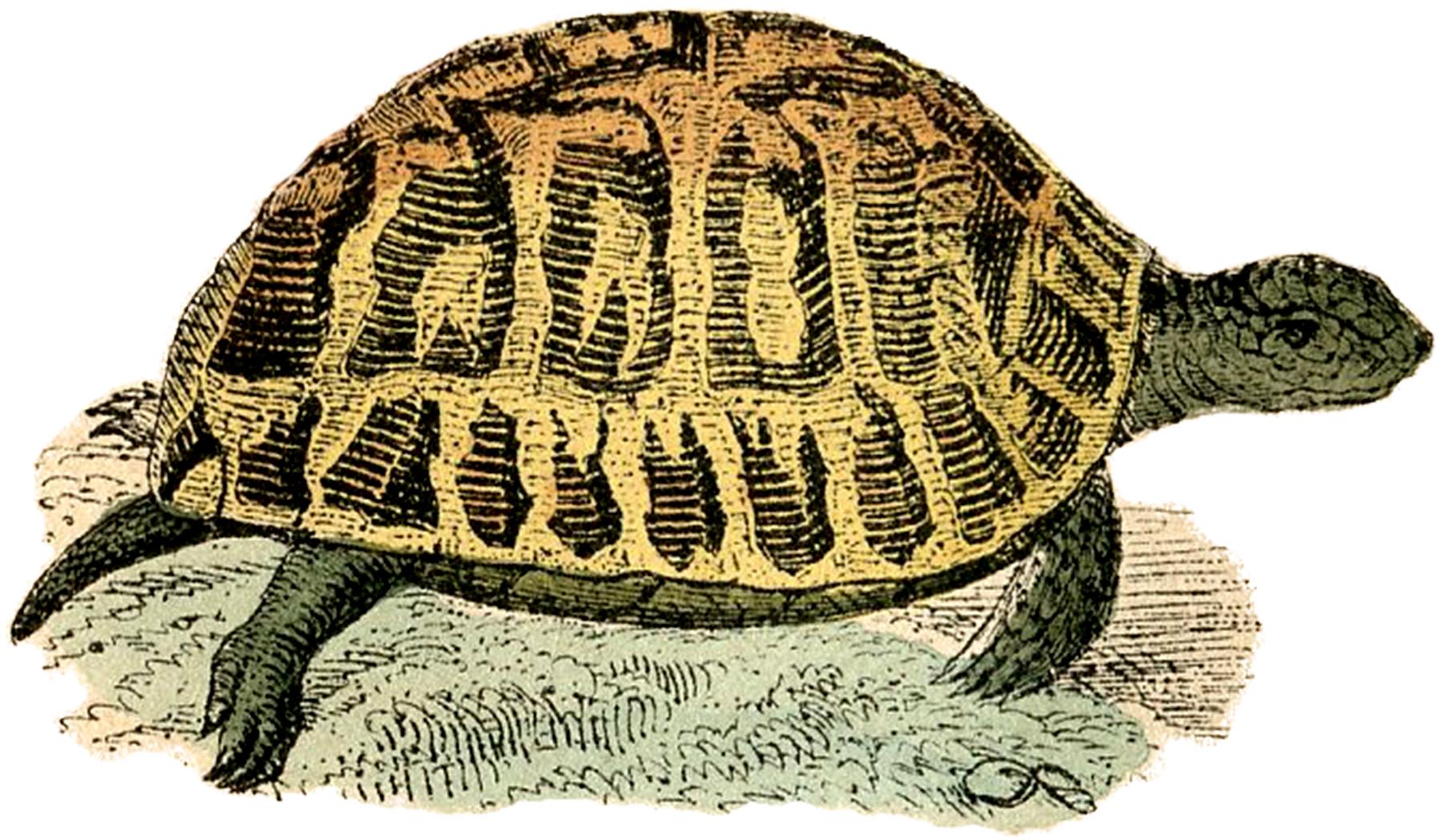 Clipart turtle vintage.  illustrations skeleton the