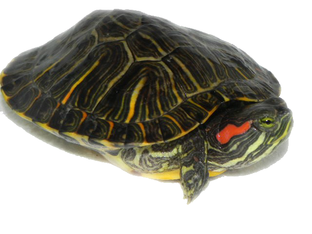 Transparent png pictures free. Clipart turtle water