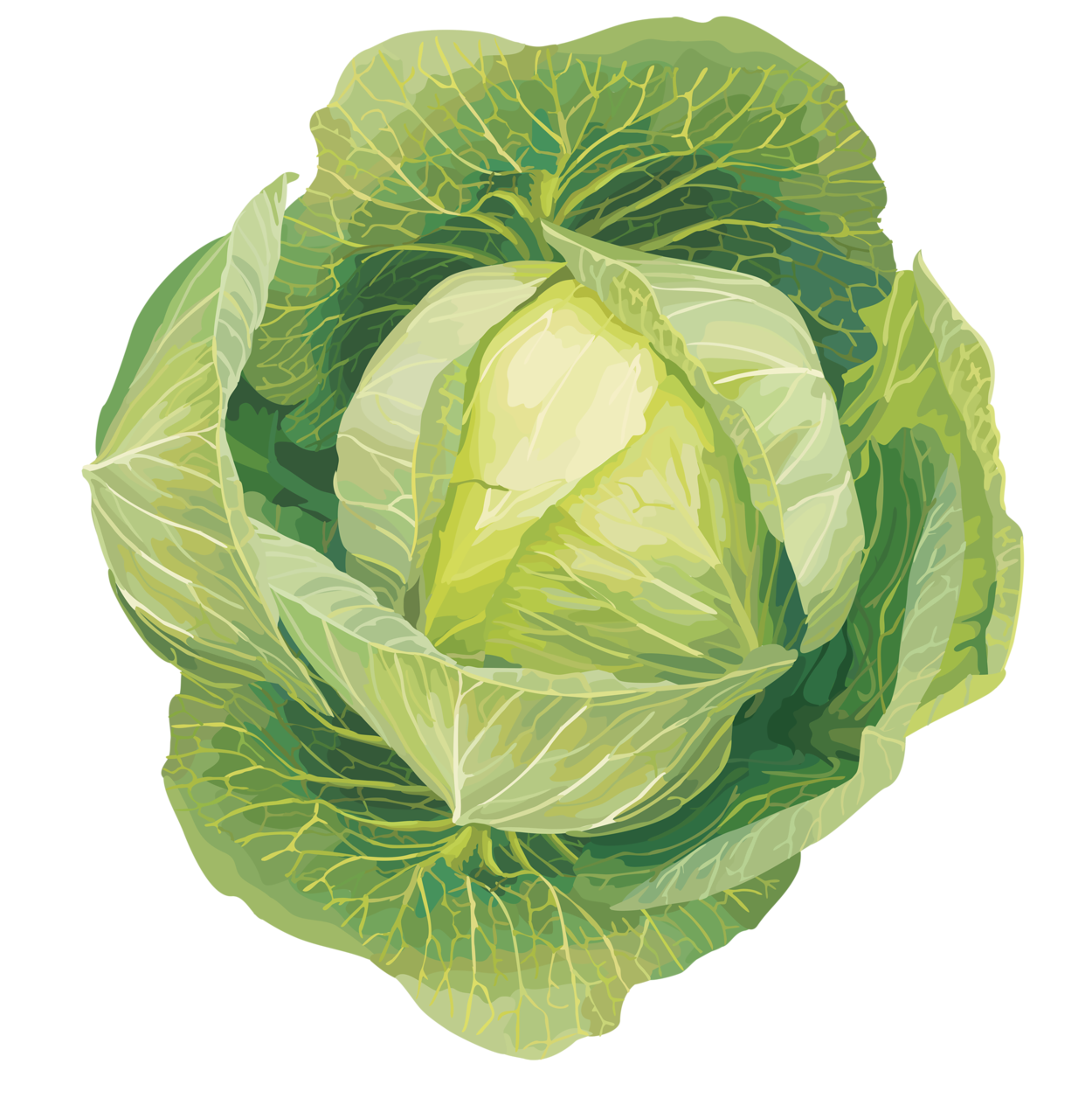 Clipart vegetables cabbage.  png pinterest clip