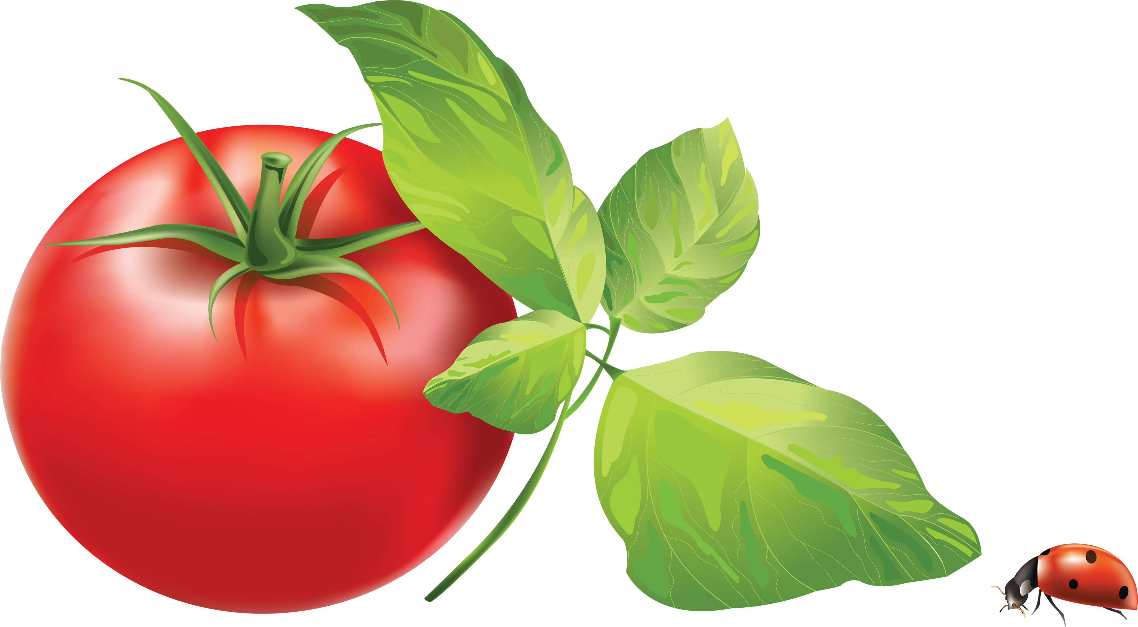 Tomato png image cliparts. Tomatoes clipart colour