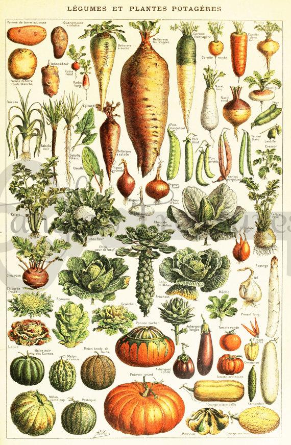 Clipart vegetables vintage. French encyclopedia by