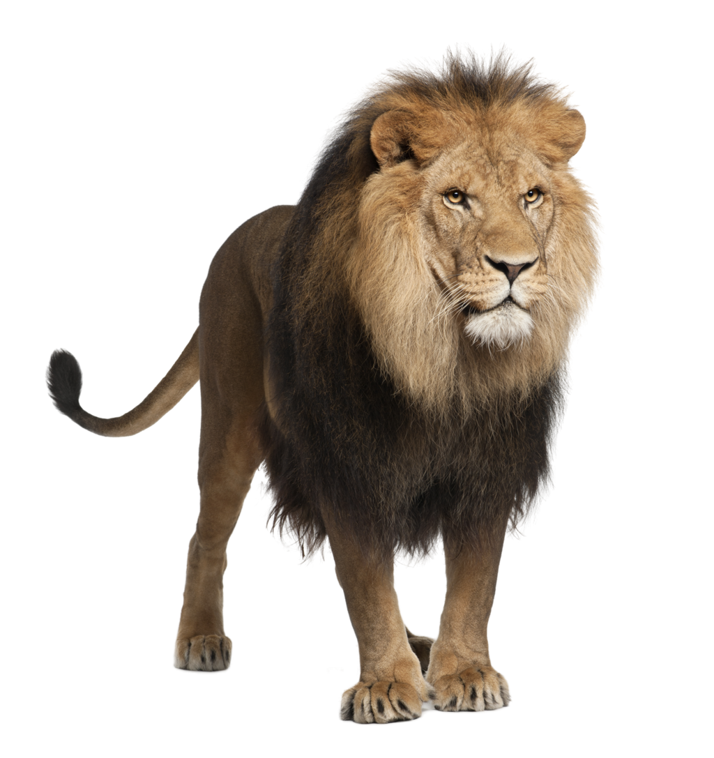 Three isolated stock photo. Clipart walking lion