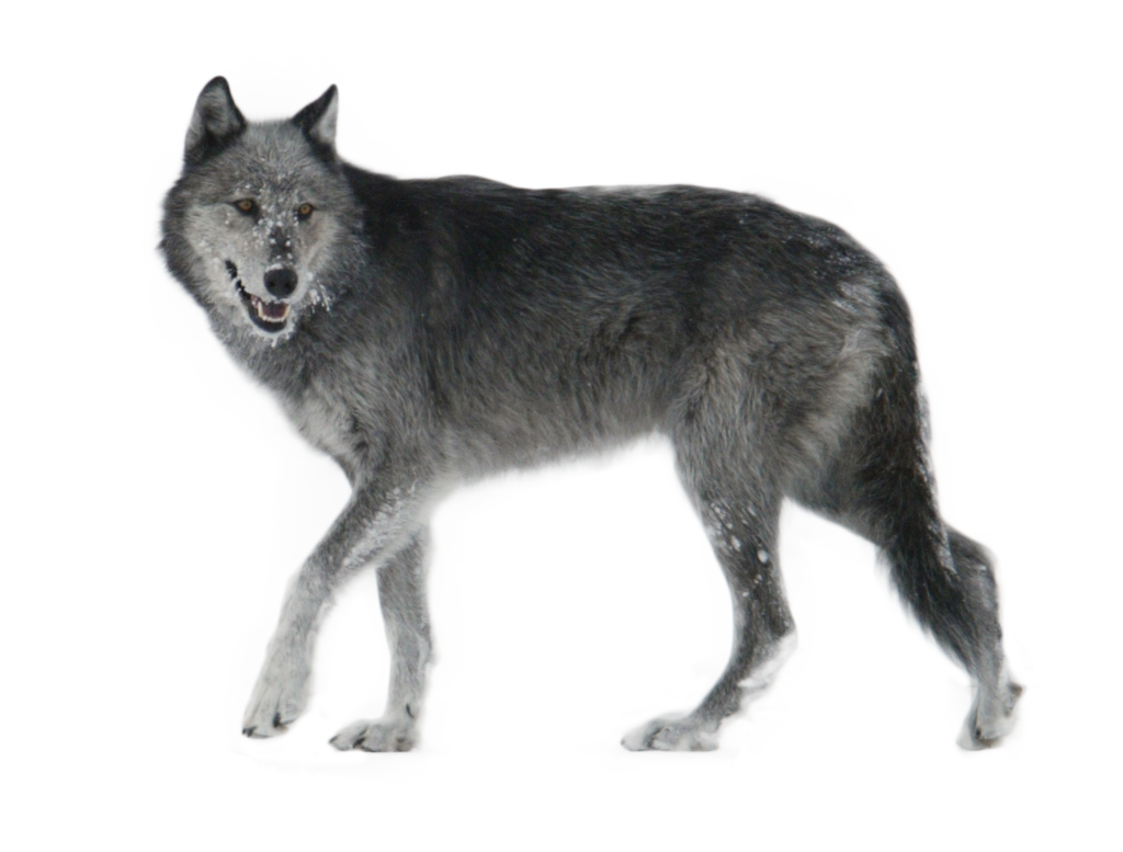 Wolf png images. Walking side ways image