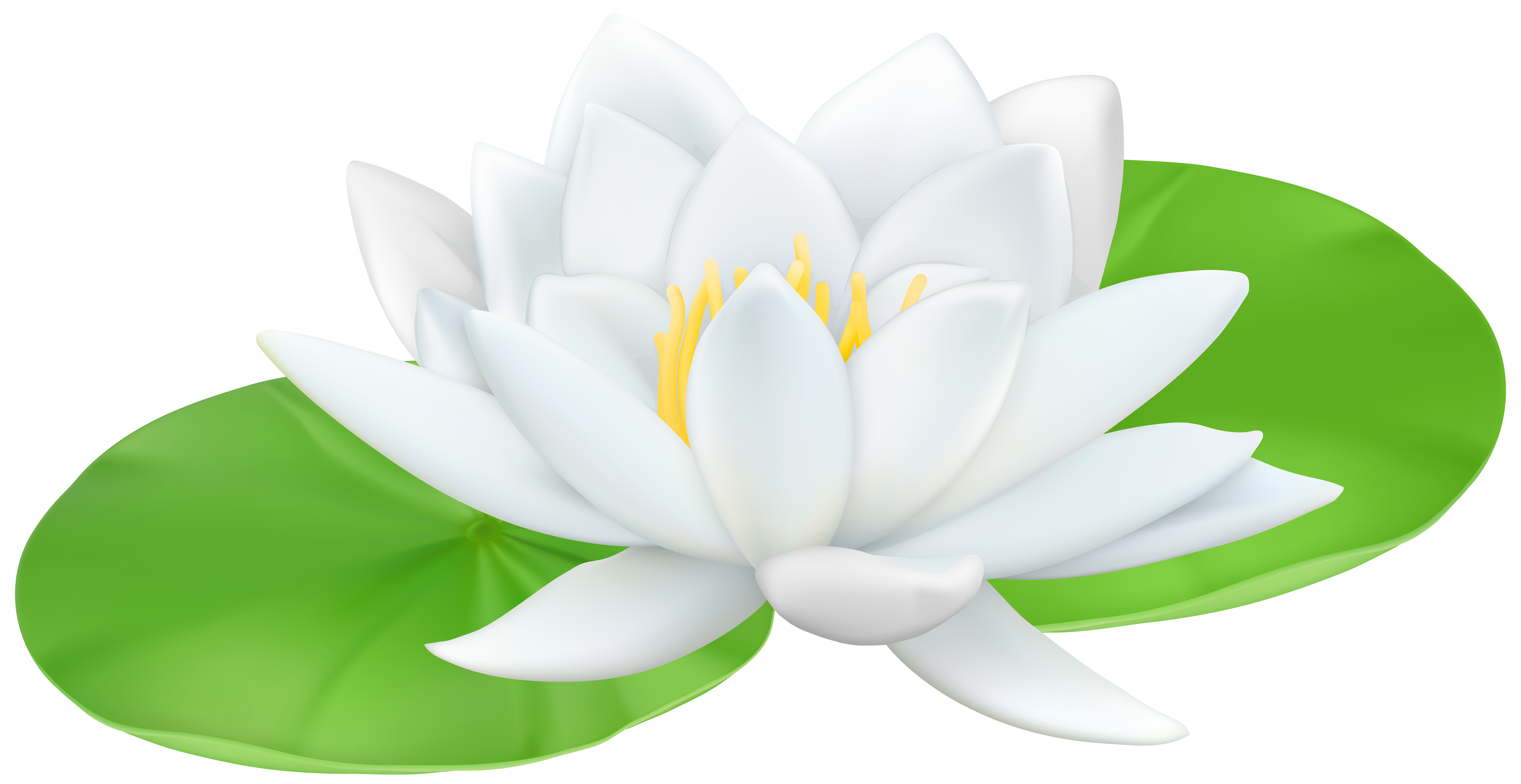 Lotus clipart waterlily. Water lily transparent png