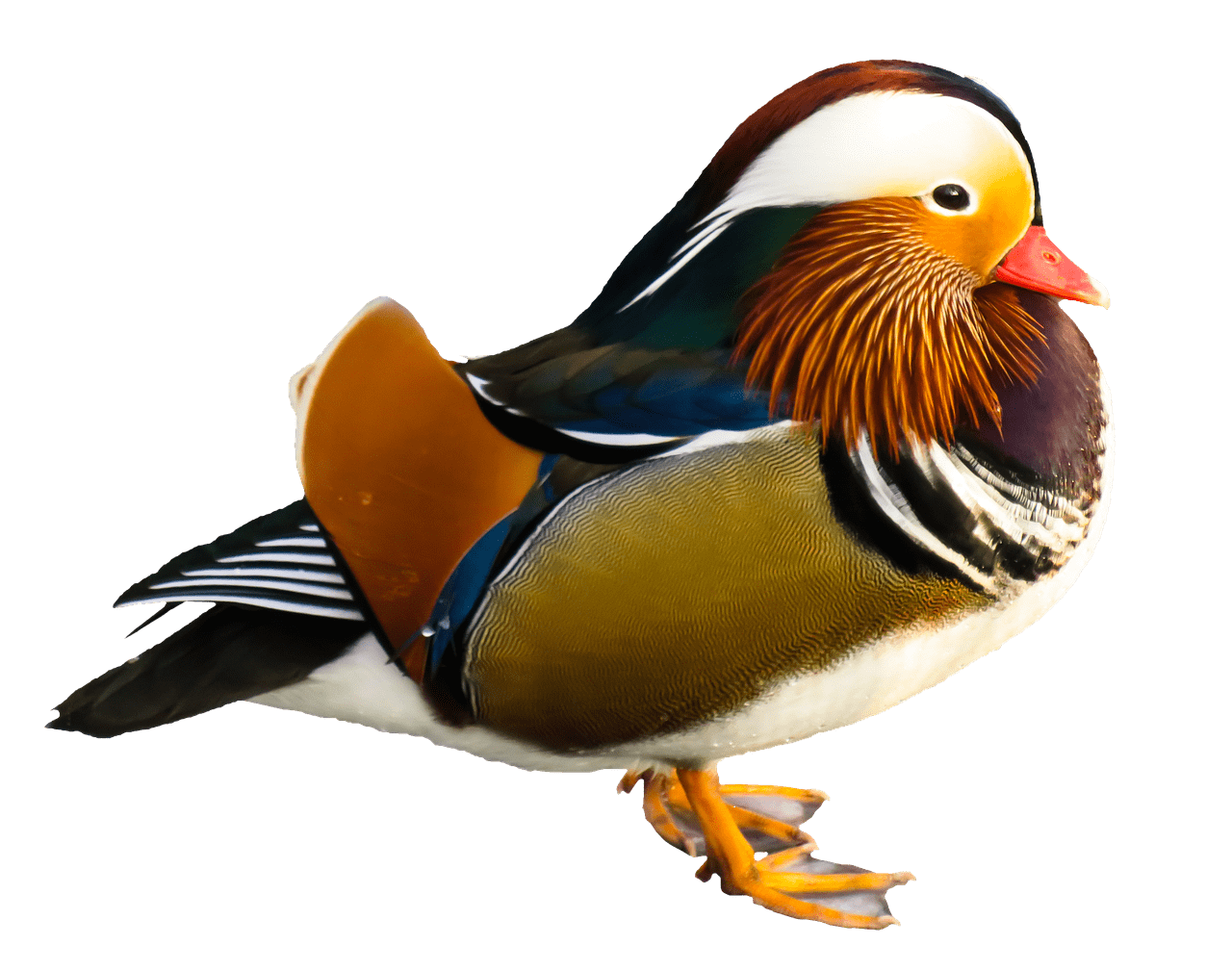 Bird transparent png stickpng. Ducks clipart mandarin duck
