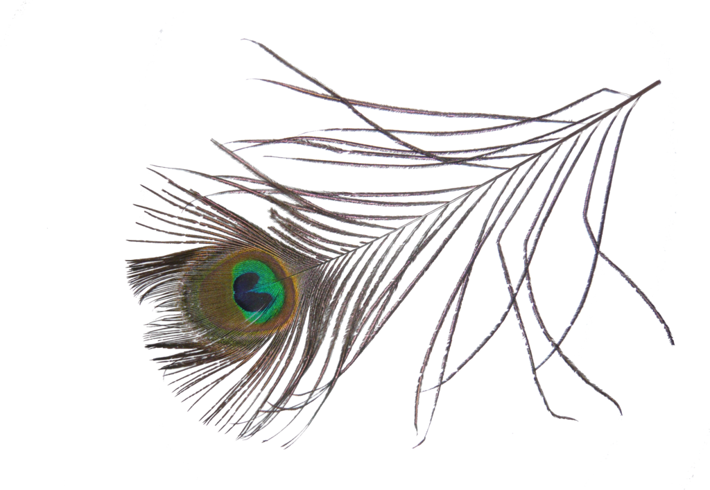 Peacock png transparent images. Feather clipart artistic