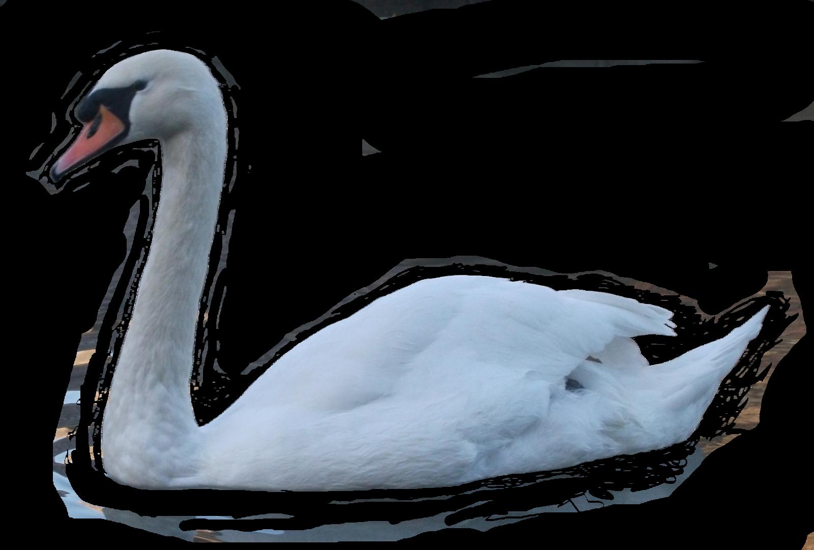 Couple clipart swan. Png transparent images pinterest