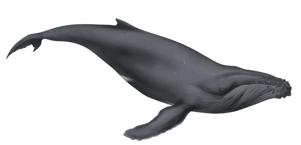 Clipart whale humpback whale. Illustration by dio d