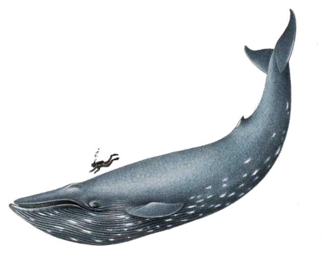 Graphic design pinterest amazing. Clipart whale humpback whale
