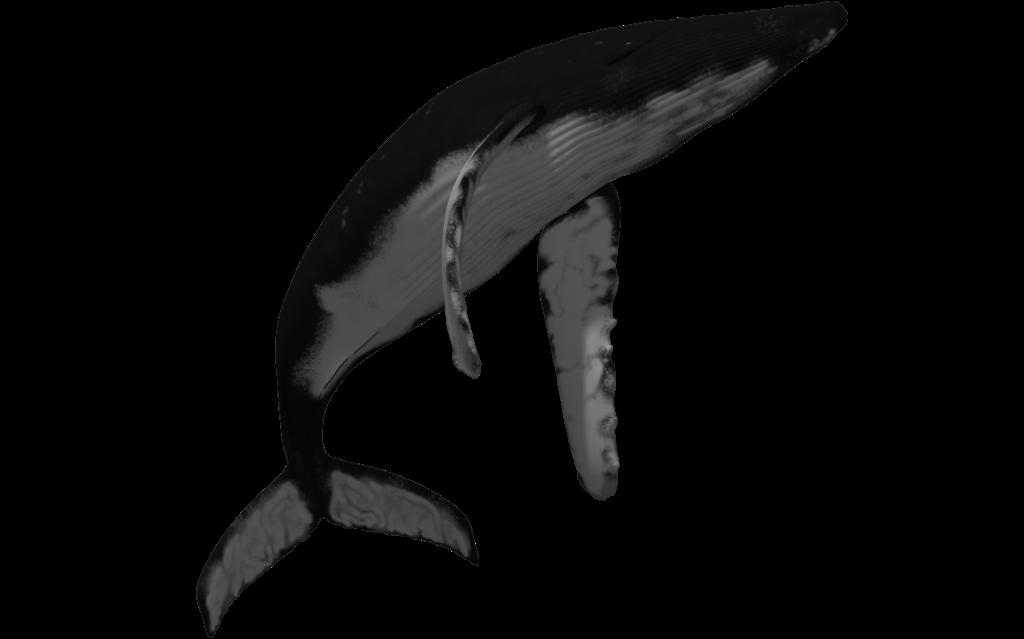 Clipart whale humpback whale. Clipartblack com animal free