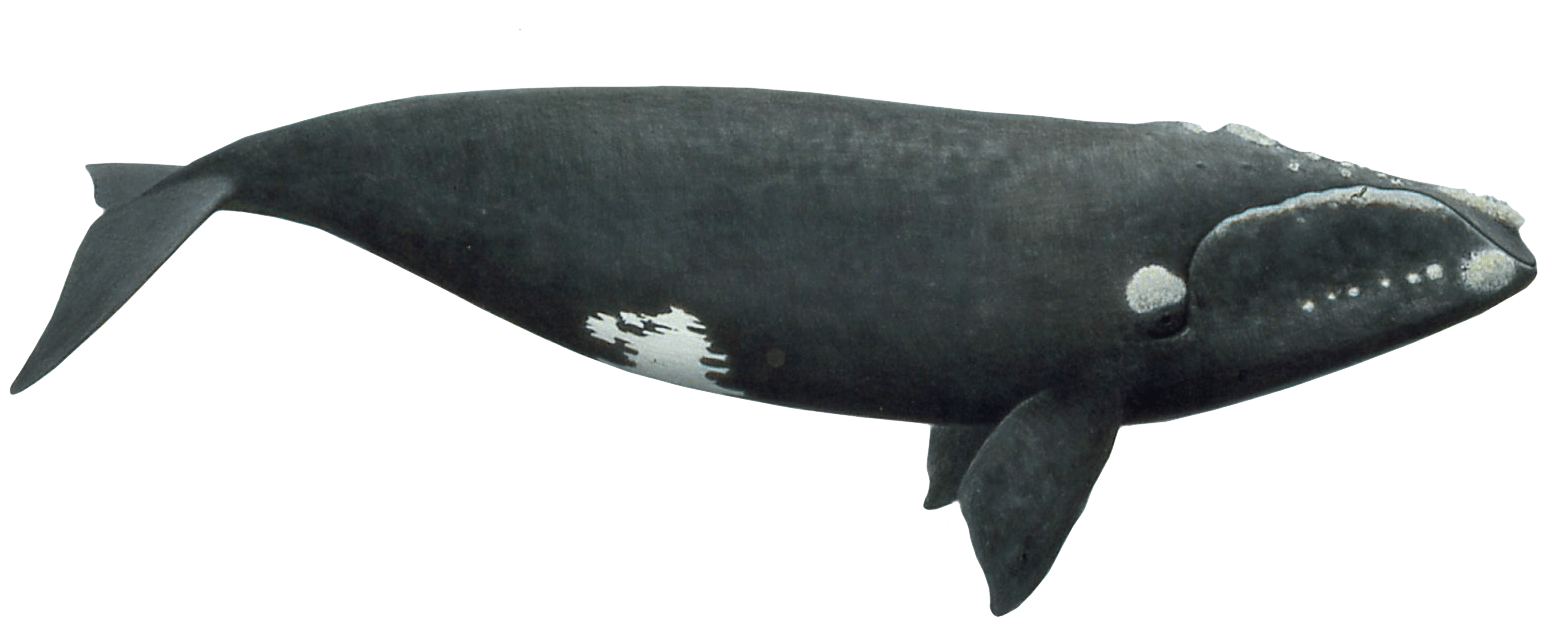 Clipart whale minke whale. Right png photos