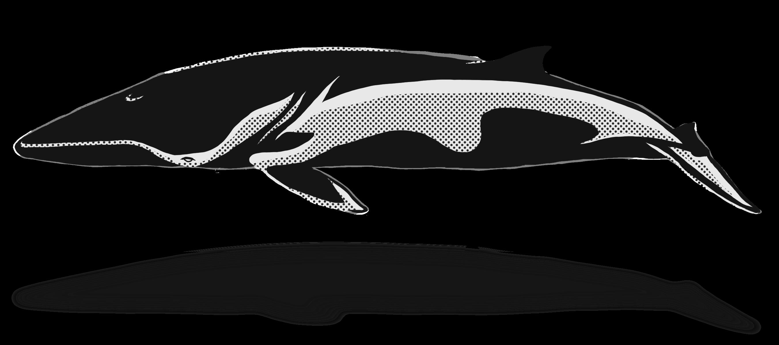 Clipart whale minke whale. Hd blue pacific sturgeon
