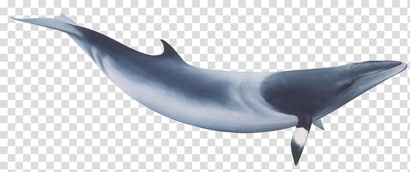 Clipart whale minke whale. Blue transparent background png