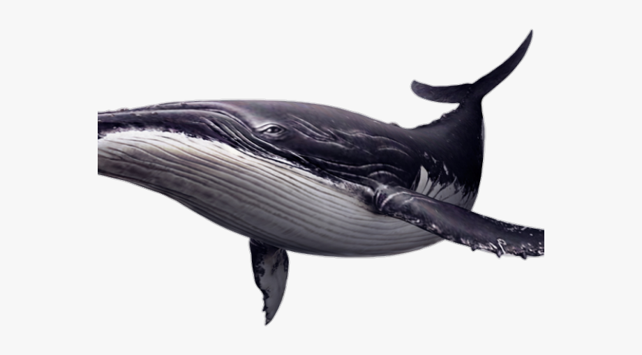 Clipart whale real whale. Beluga endless ocean front