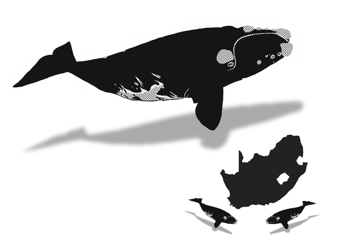 Clipart whale southern right whale. The whaleplanner october a