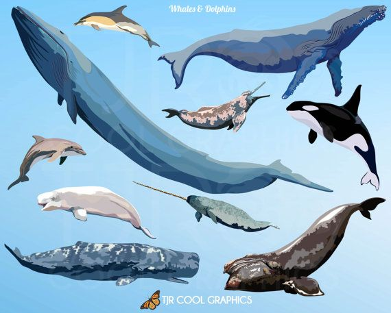 Dolphin clipart whale. Clip art whales dolphins
