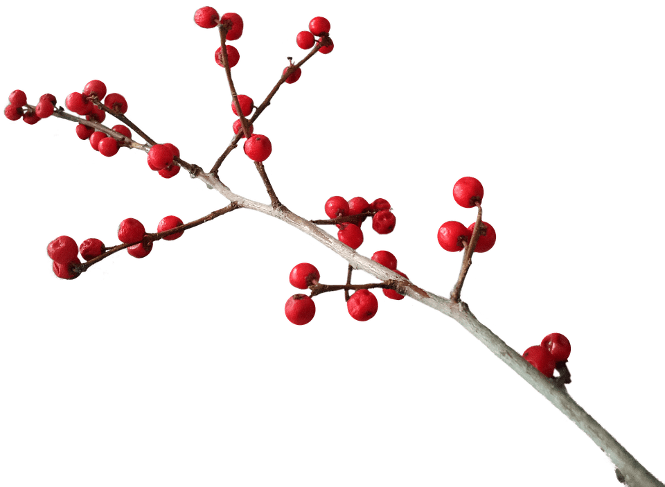 Berry clipart winter. Christmas branch decoration transparent