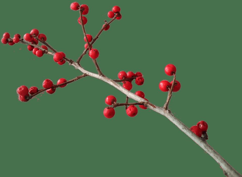 Christmas branch decoration transparent. Clipart winter berry