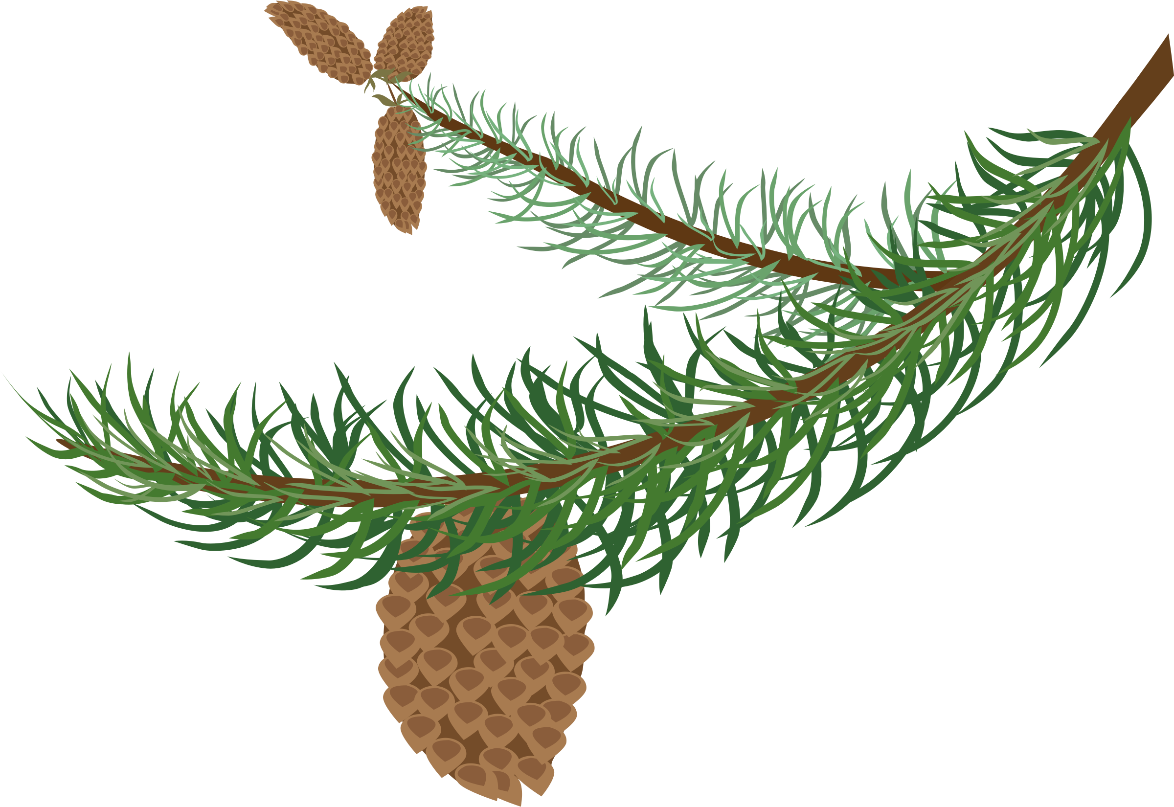 Fir with cones big. Winter clipart branch