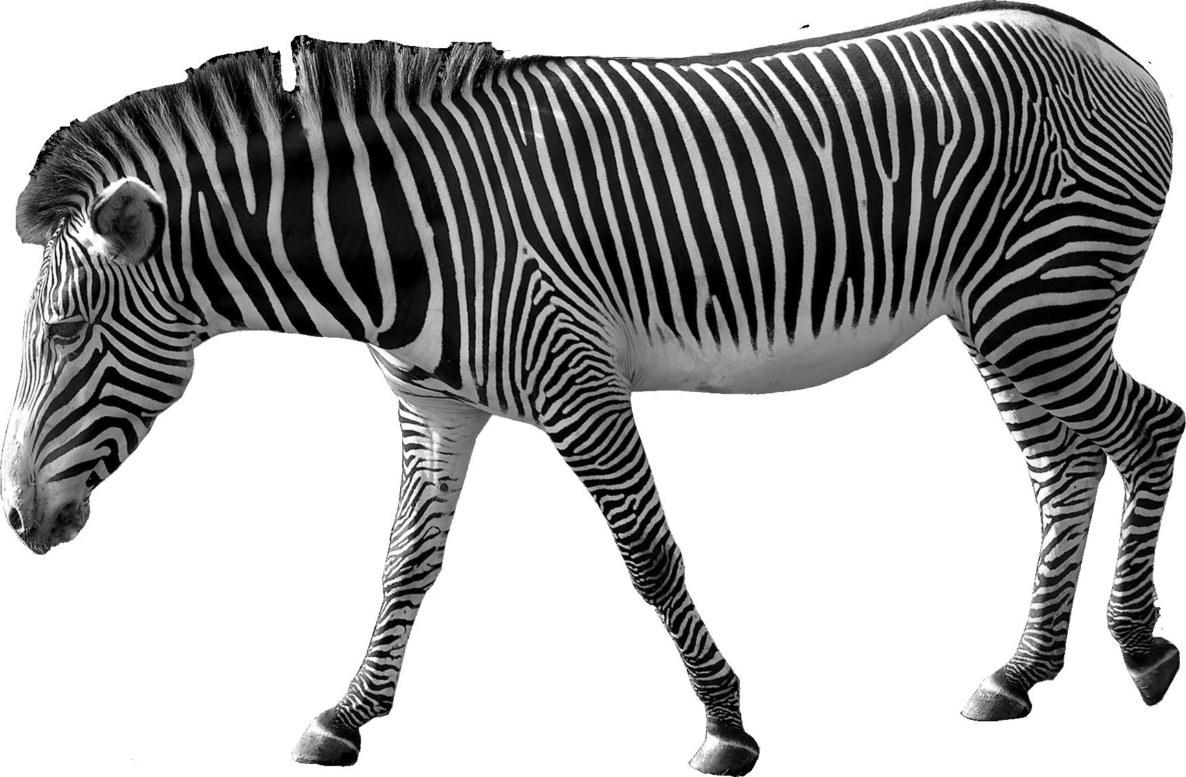 Clipart zebra front. Png animal pinterest tattoo