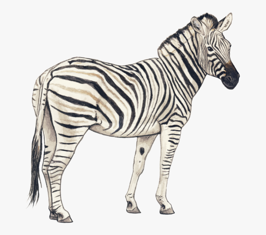 Clipart zebra sketch. Pencil of free cliparts